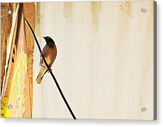 Indian Myna Comes To Dinner Acrylic Print by Kantilal Patel