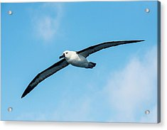 Indian Ocean Yellow-nosed Albatross Acrylic Print by Peter Chadwick