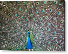 Indian Or Blue Peacock Acrylic Print