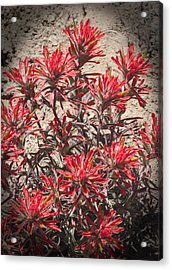 Acrylic Print featuring the photograph Indian Paint Brush by Daniel Hebard