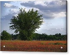 Indian Paint Brush Revisited Acrylic Print by Linda Phelps