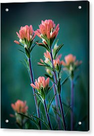 Indian Paintbrush At Dawn Acrylic Print by James Barber