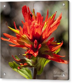 Indian Paintbrush Acrylic Print by Belinda Greb