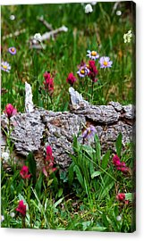 Acrylic Print featuring the photograph Indian Paintbrush by Ronda Kimbrow