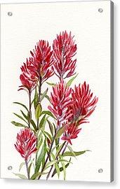 Indian Paintbrush Acrylic Print