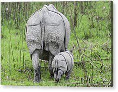 Indian Rhinoceros And Week Old Calf Acrylic Print