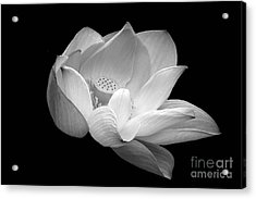 Indian Sacred Lotus In Black And White Acrylic Print