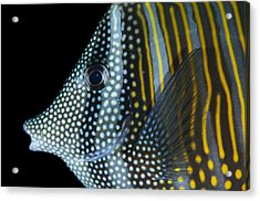 Indian Sailfin Tang In The Maldives Acrylic Print