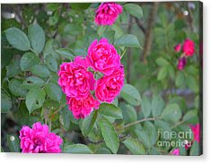 Indiana Roses Acrylic Print by Alys Caviness-Gober