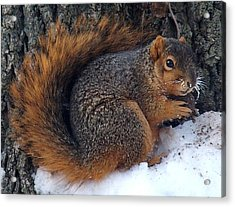 Indiana Squirrel In Winter With Nut Acrylic Print