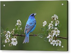 Acrylic Print featuring the photograph Indigo Bunting On Berry Blossoms by Daniel Behm