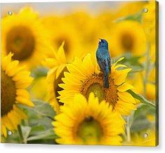 Indigo Bunting On Sunflower Acrylic Print