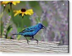 Indigo Bunting (passerina Cyanea Acrylic Print