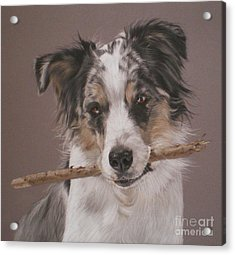 Indy - Border Collie Acrylic Print by Joanne Simpson