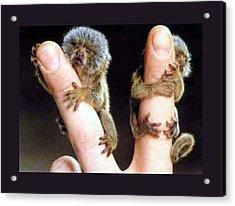 Infant Finger Monkeys Violet Border Acrylic Print by L Brown