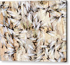 Infested Acrylic Print by Pam Garcia