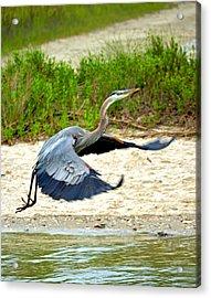 Inflight Great Blue Heron Acrylic Print by Sandi OReilly