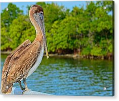 Injured Pelican Acrylic Print