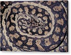 Inland Carpet Python  Acrylic Print