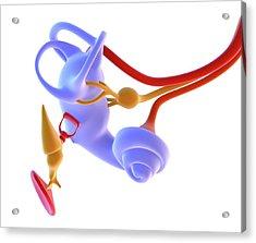 Inner Ear Anatomy Acrylic Print