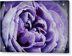 Lavender Motive Acrylic Print by Jean OKeeffe Macro Abundance Art