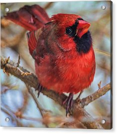 Inquisitive Cardinal Acrylic Print