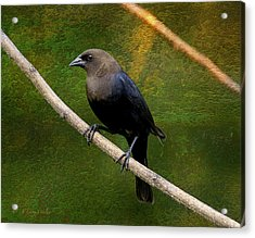 Inquisitive Cowbird Acrylic Print by J Larry Walker