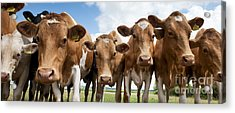 Inquisitive Cows Acrylic Print by Tim Gainey