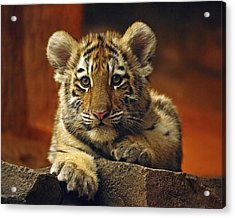 Inquisitive Cub Acrylic Print