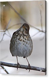 Acrylic Print featuring the photograph Inquisitive Hermit Thrush by Cascade Colors