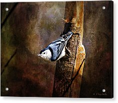 Inquisitive Nuthatch Acrylic Print by J Larry Walker
