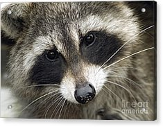 Inquisitive Raccoon Acrylic Print