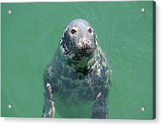 Inquisitive Seal Acrylic Print