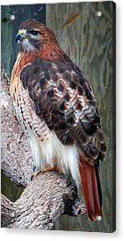 Inquisitve Red Tailed Male Hawk Acrylic Print by Donna Proctor