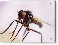 Insect Extreme Macro Fly With Pollen Acrylic Print by Mr Bennett Kent