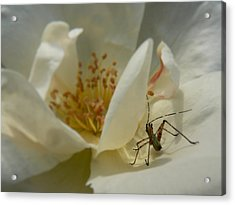 Acrylic Print featuring the photograph Insect On A Soft Rose by MM Anderson