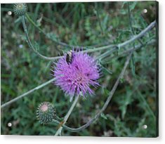 Insect On A Thistle Blossom Acrylic Print