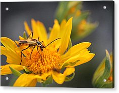 Insect On Cowpen Daisy Acrylic Print