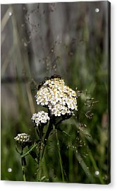 Acrylic Print featuring the photograph Insect On White Flower by Leif Sohlman