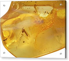 Insects In Fossil Amber Acrylic Print by Science Stock Photography