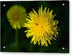 Insects On A Dandelion Flower - Featured 3 Acrylic Print by Alexander Senin