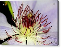 Inside A Clematis Acrylic Print