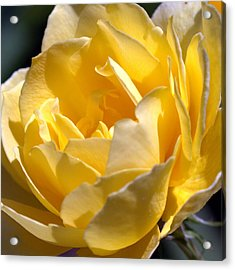 Inside The Yellow Rose Acrylic Print