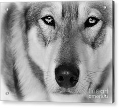 Intence Sled Dog Black And White Acrylic Print