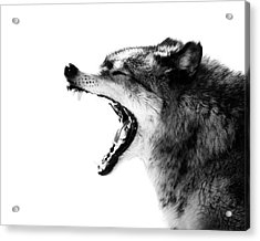 Intense Gray Wolf Portrait  Acrylic Print
