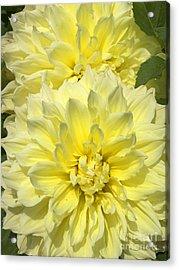 Intense Yellow Dahlias Acrylic Print