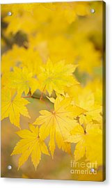 Intensely Yellow Acrylic Print by Anne Gilbert