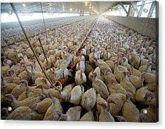 Intensive Turkey Farm Acrylic Print by Peter Menzel