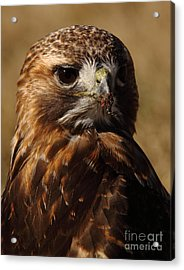 Red Tailed Hawk Portrait Acrylic Print by Robert Frederick