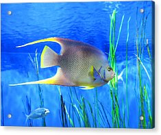 Into Blue - Tropical Fish By Sharon Cummings Acrylic Print